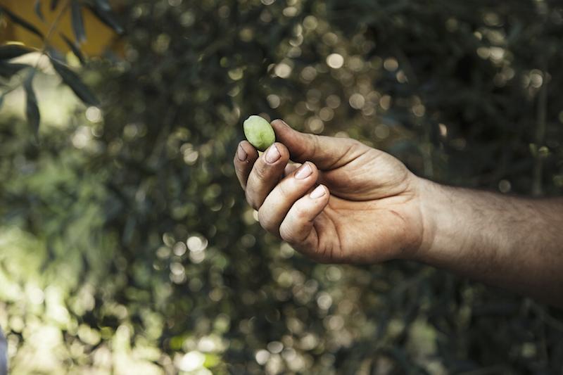 Olive e olio: tipicità del territorio Piceno che vanno valorizzate. Facciamolo con una Olive Experience!