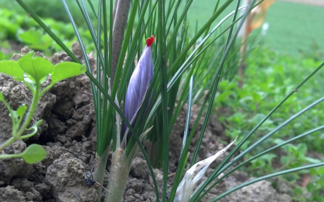 Discovering Piceno's saffron: an ancient tradition