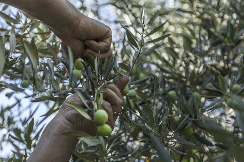 """Olive Experience: a Rural Experience in Le Marche"""