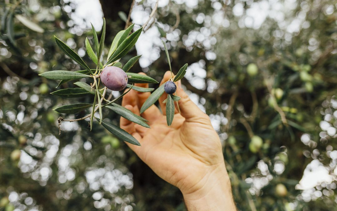 L'olivo: la pianta simbolo del Mediterraneo